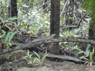 A common basilisk