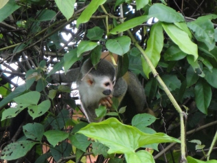 Adult squirrel monkey. Lesser squee.