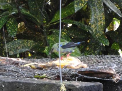 Gorgeous songbird #2