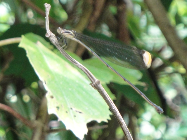 helicopter-damselfly