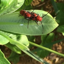 red milkweed beetles (with guest)