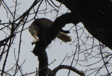 bald-eagle-3