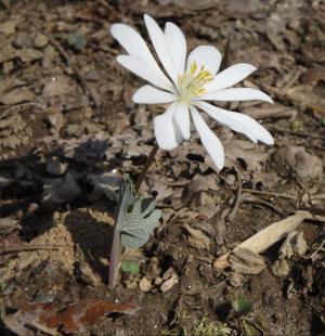 sanguinaria-canadensis-4.jpg