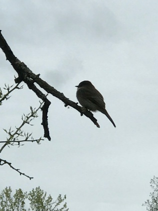 An eastern phoebe at Violette's Lock