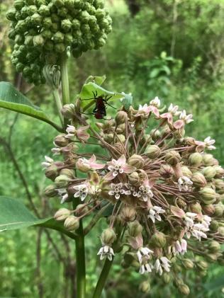 milkweed with some bugs