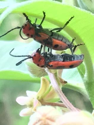 close-up of red milkweed beetles