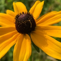 tiny caterpillar on black-eyed susan