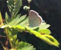 An eastern tailed-blue showing the nominative tail