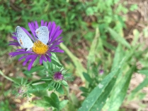 a pair of eastern tailed-blues on New England aster