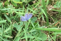 An eastern tailed-blue (dorsal view)