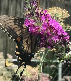 Papilio glaucus (30)