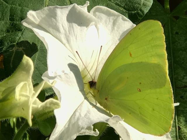 Phoebis sennae (1)