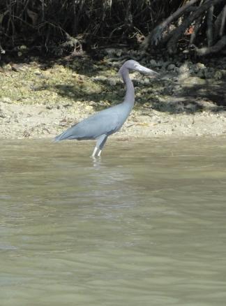 Egretta caerulea (4)