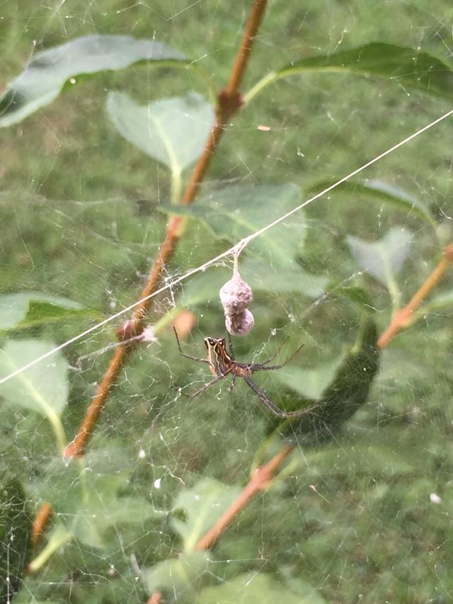 Mecynogea lemniscata (3)