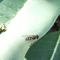 syrphid fly sp.