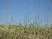 Sea Oats (Uniola paniculata)
