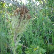 Bristle Thistle (Cirsium horridulum)